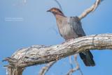 Roodhalsduif - Scaly-naped pigeon - Patagioenas squamosa
