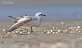 Ross' Meeuw - Ross's gull - Rhodostethia rosea