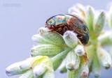 Rozemarijngoudhaantje - Rosemary Beetle - Chrysolina americana