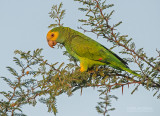 Kleine Geelkopamazone - Yellow-shouldered Parrot - Amazona barbadensis
