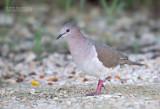 Verreaux' Duif - White-tipped Dove - Leptotila verreauxi verreauxi