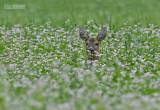 Ree - European Roe Deer - Capreolus capreolus