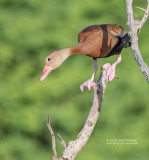 Zwartbuikfluiteend - Black-bellied Whistling Duck - Dendrocygna autumnalis