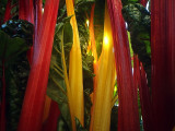 Forest of Chard
