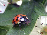 Lady Bug vs. the Aphid