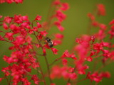 Bumble Bee and Coral Bells