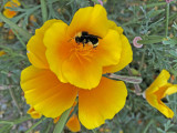 Do Bumble Bees Play?