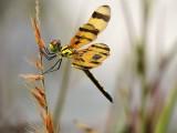Dragonflies, Damselflies