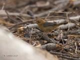 Steengraszanger - Rock-loving Cisticola - Cisticola emini