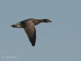 Rotgans - Dark-bellied Brent Goose - Branta bernicla