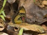 Common themis forester - Euphaedra themis