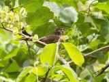 Baardgrasvogel - African moustached grass-warbler - Melocichla mentalis