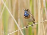 Blauwborst - Bluethroat - Luscinia svecica