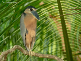 Schuitbekreiger - Boat-billed Heron - Cochlearius cochlearius