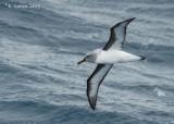Grijskopalbatros - Grey-headed Albatross - Thalassarche chrysostoma