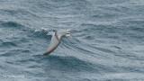 Antarctische Prion - Antarctic Prion - Pachyptila desolata