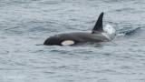 Zwaardwalvis - Killer Whale - Orcinus orca
