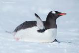 Ezelspinguïn - Gentoo Penguin - Pygoscelis papua