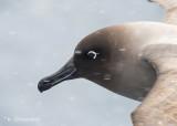 Roetkopalbatros - Light-mantled Sooty Albatross - Phoebetria palpebrata