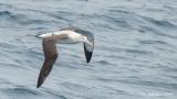 Grote Albatros - Wandering Albatross - Diomedea exulans