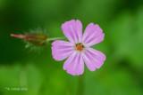 Robertskruid - Herb-Robert - Geranium robertianum