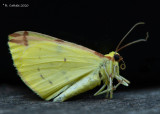 Hagedoornvlinder - Brimestone Moth - Opisthograptis luteolata