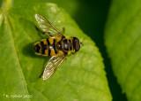 Doodskopzweefvlieg - Myathropa florea