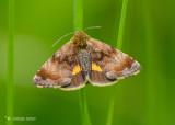 Dwerghuismoeder - Small yellow underwing - Panemeria tenebrata