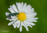 Fraaie Schijnbok - Thick-legged flower beetle - Oedemera nobilis