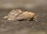 Snuitvlinder - Pale prominent - Pterostoma palpina