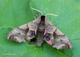 Pauwoogpijlstaart - Eyed hawk-moth - Smerinthus ocellatus