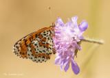 Tweekleurige parelmoervlinder - Spotted fritillary - Melitaea didyma