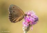 Blauwoogvlinder - Dryad - Minois dryas
