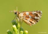 Kalkgraslanddikkopje - Red-underwing skipper - Spialia sertorius