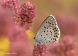 Klein tijmblauwtje - Baton blue - Pseudophilotes baton