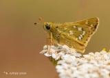 Kommavlinder - Silver-spotted skipper - Hesperia comma