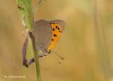 Kleine vuurvlinder - Small copper - Lycaena phlaeas