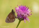Zomererebia - Scotch argus - Erebia aethiops