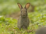 Europees Konijn - European rabbit - Oryctolagus cuniculus