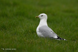 Stormmeeuw - Common gull - Larus canus