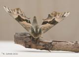Lindepijlstaart - Lime hawk-moth - Mimas tiliae