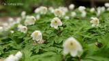 Bosanemoon - Wood anemone - Anemonoides nemorosa