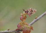 Paarse parelmoervlinder - Weaver's fritillary - Boloria dia