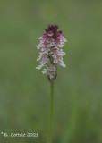 Aangebrande orchis - Burnt-tip orchid - Neotinea ustulata