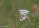 Heideblauwtje - Silver-studded blue - Plebejus argus