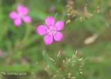 Steenanjer - Maiden pink - Dianthus deltoides