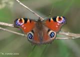 Dagpauwoog - European peacock - Aglais io