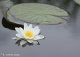 Witte waterlelie - White waterlily - Nymphaea alba