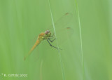 Kempense heidelibel - Spotted darter - Sympetrum depressiusculum