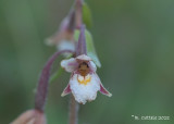 Moeraswespenorchis - Epipactis palustris